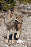 coyote in Death Valley near Badwater only 15 feet from me IMG_4778 sm2.jpg
