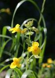 2M3A5489 seepspring monkeyflower Tule River Reserv TEB.jpg